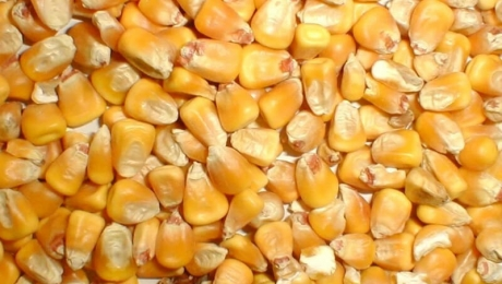 Объемы экспорта кукурузы из Украины выросли на 64%