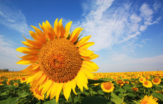80% of the produced sunflower meal was exported from Ukraine