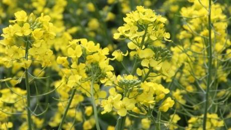 В Україні прогнозується новий рекорд з виробництва та експорту ріпаку