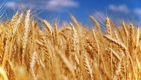 Україна майже вичерпала обсяг експорту пшениці вказаний в меморандумі