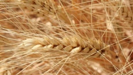 Производство зерна в Казахстане