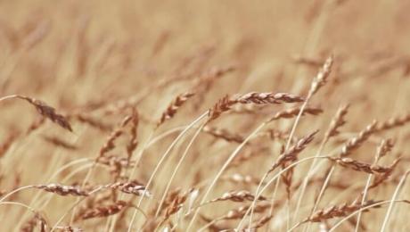 В Казахстане сократится экспорт ячменя в следствии небольших объемов кормовой пшеницы за сезон 2020 г.