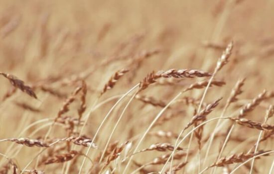 In Kazakhstan, the increase in wheat production will be higher than 2 million tons