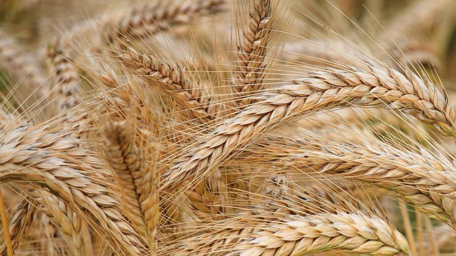 Ячмень приобретает значимости в структуре сельского хозяйства Казахстана