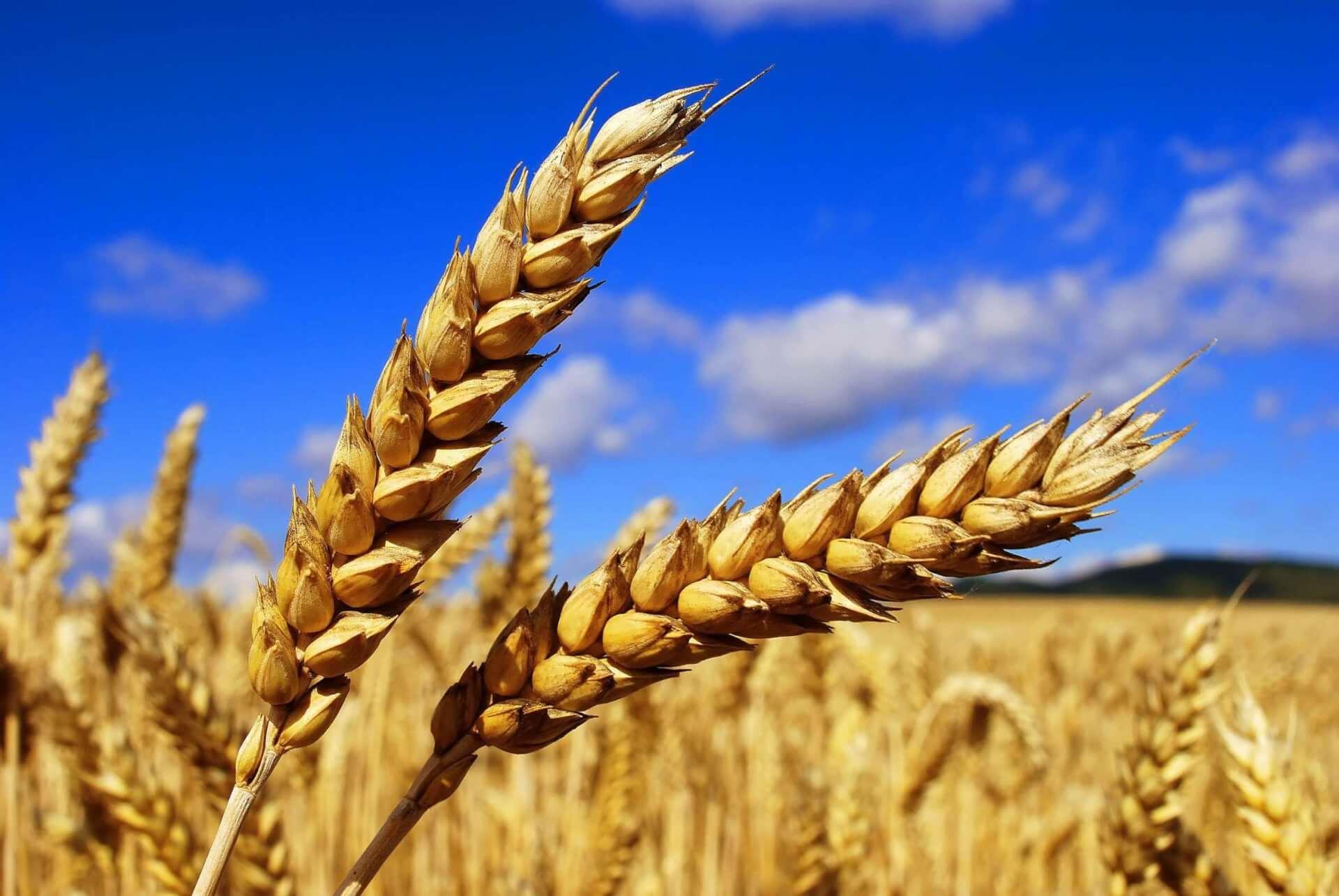 Казахстанская пшеница больше не пользуется таким спросом