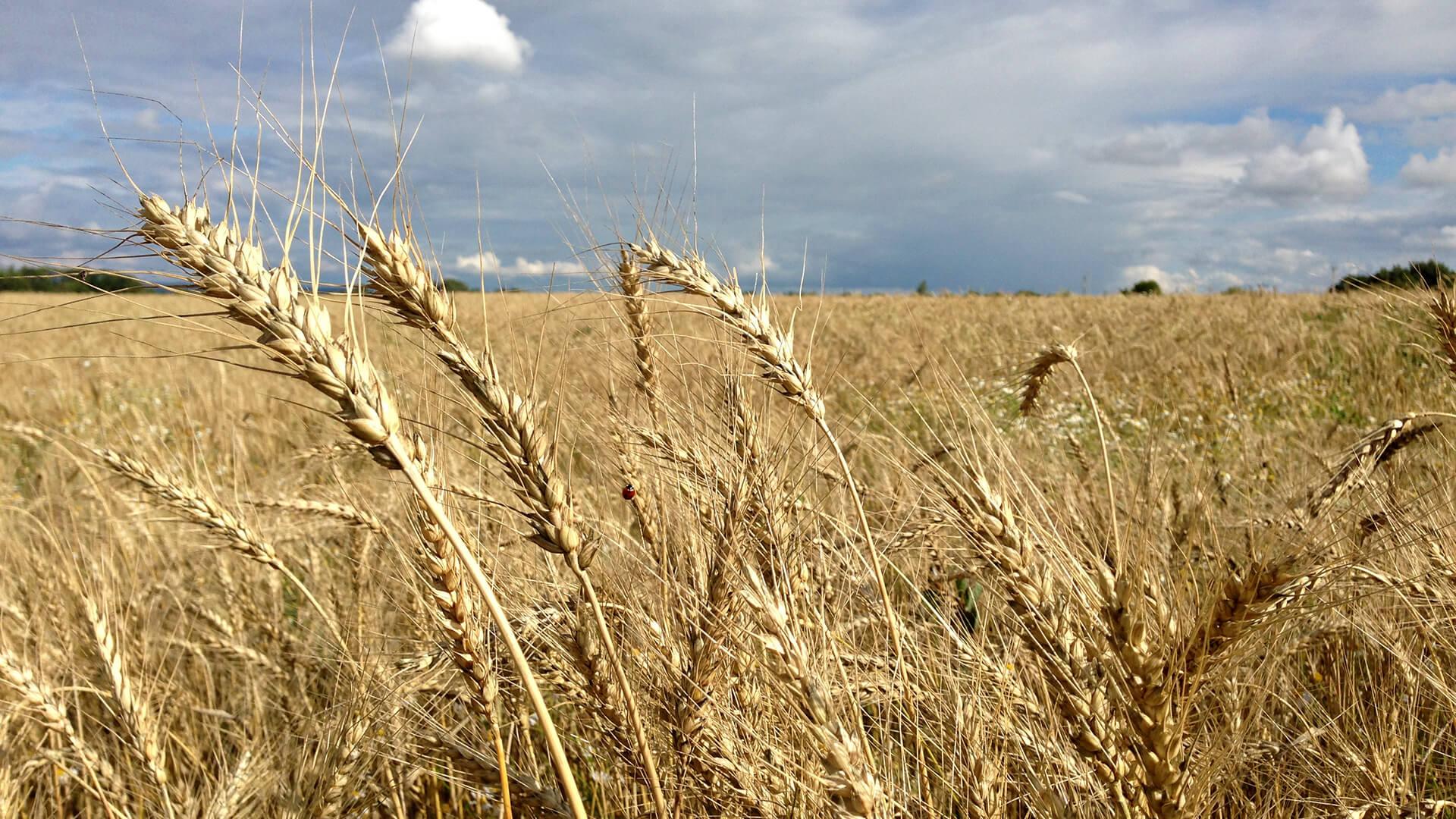 Казахстан занял 11 место по зарубежным поставкам пшеницы