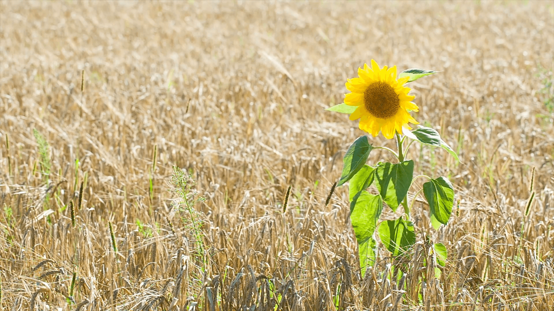 Запасы пшеницы и подсолнечника в Украине