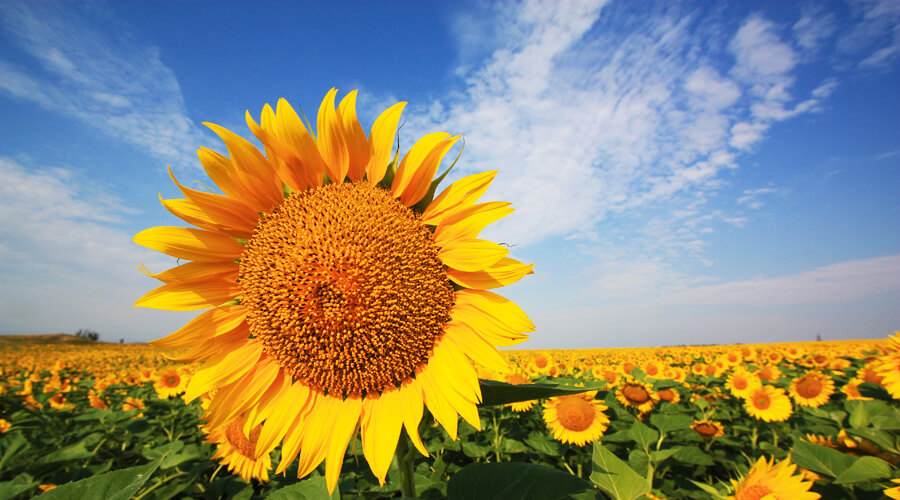 The export volume of sunflower meal from Ukraine reached a record high