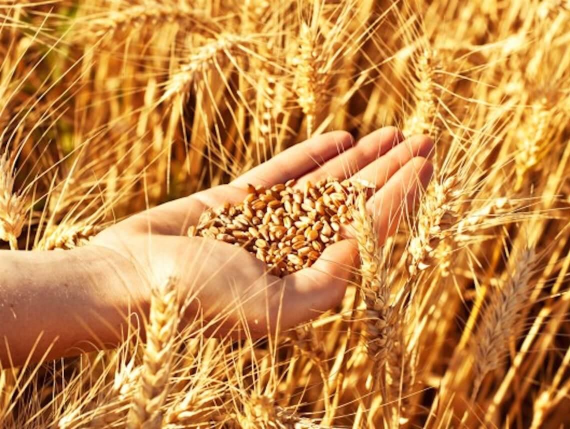 В Україні зібрано понад 200 тисяч тонн зернових культур