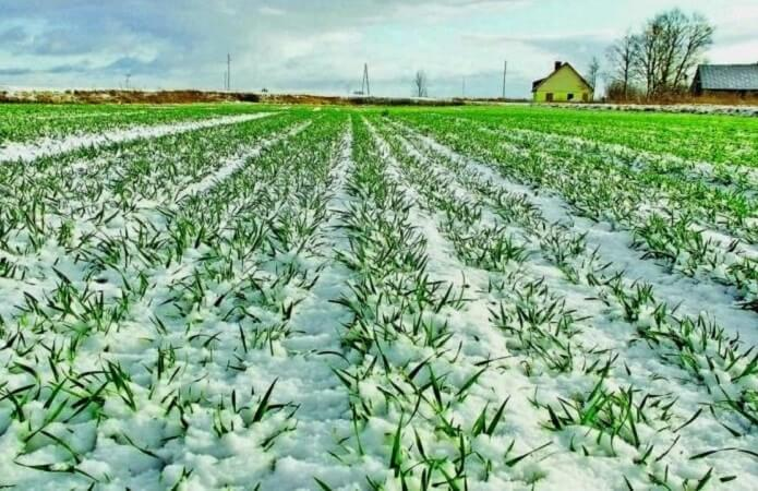 Sowings of winter crops in Ukraine are in a satisfactory condition