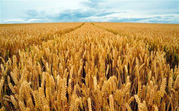 На экспорт из Украины осталось меньше, чем 7 миллионов тонн пшеницы