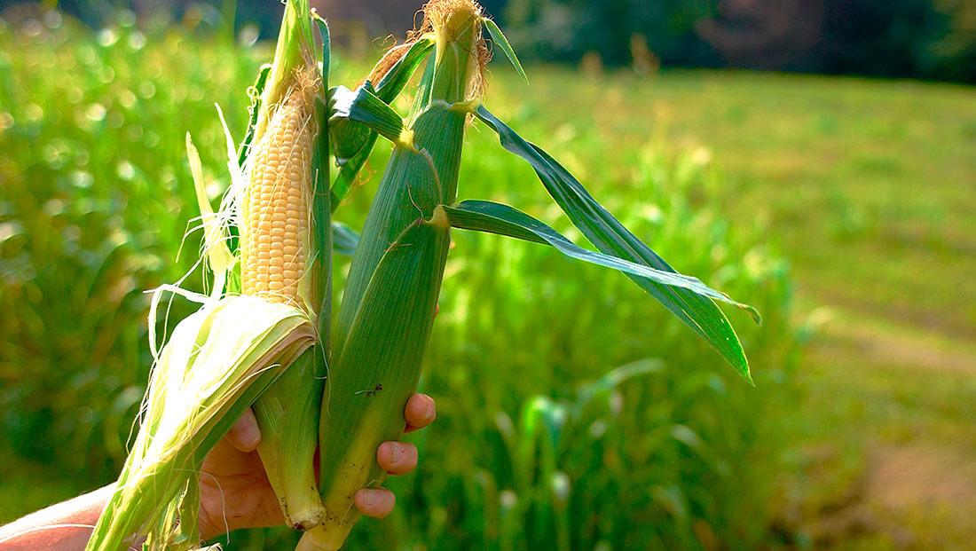 Мировой прогноз производства кукурузы на 18/19 МГ повышен на 3 млн тонн