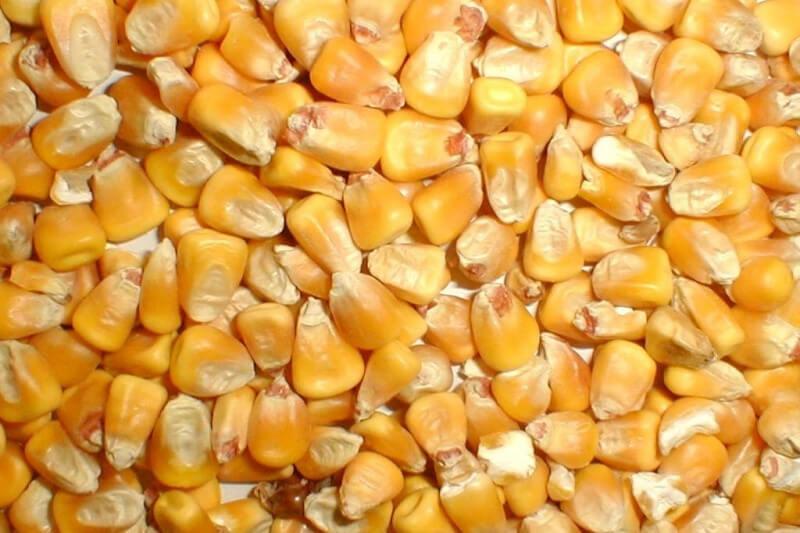 Следующий маркетинговый год может ознаменоваться приростом в производстве фуражного ячменя и кукурузы в Украине