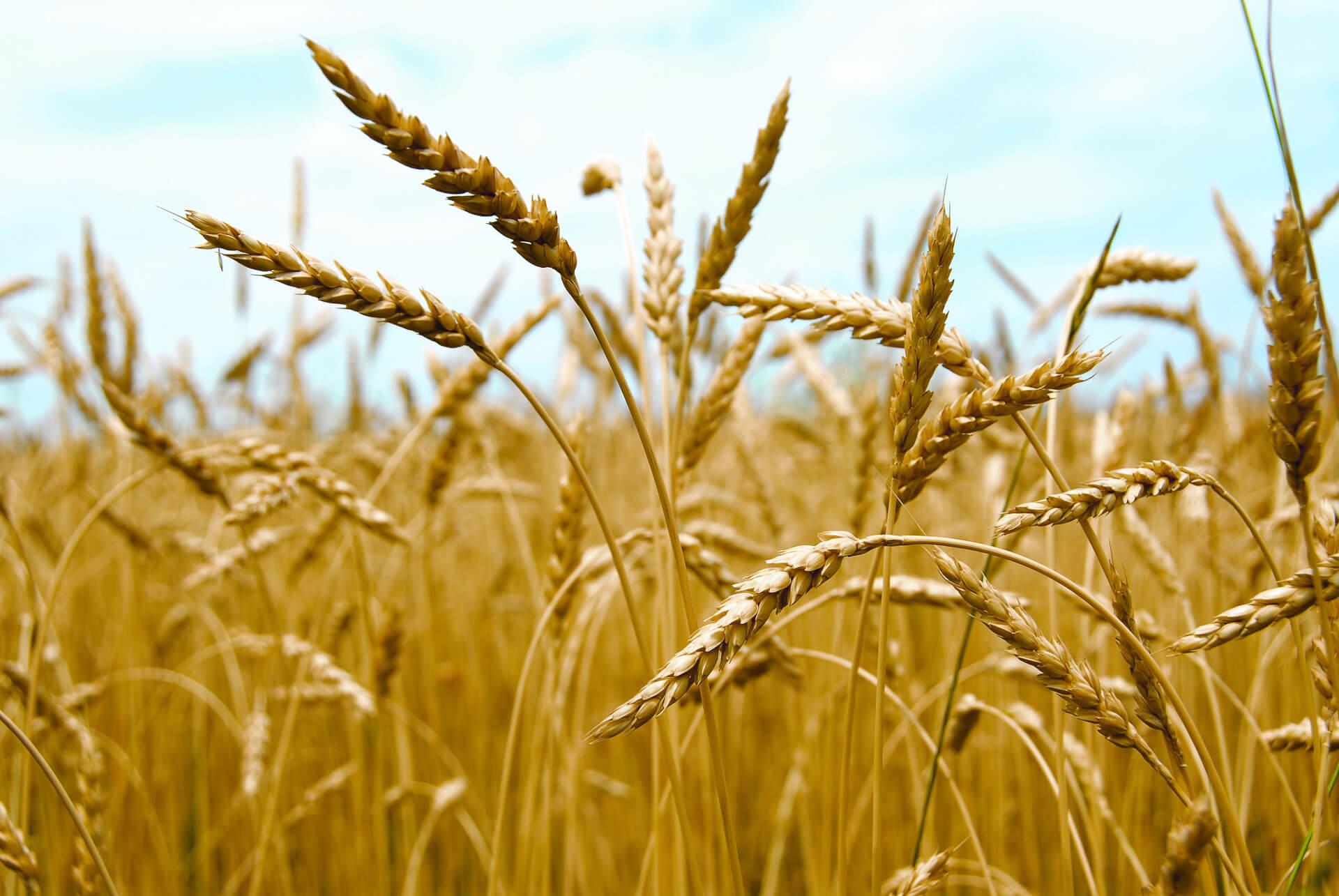 В 2017 году увеличился импорт семян ячменя в Украину для посева