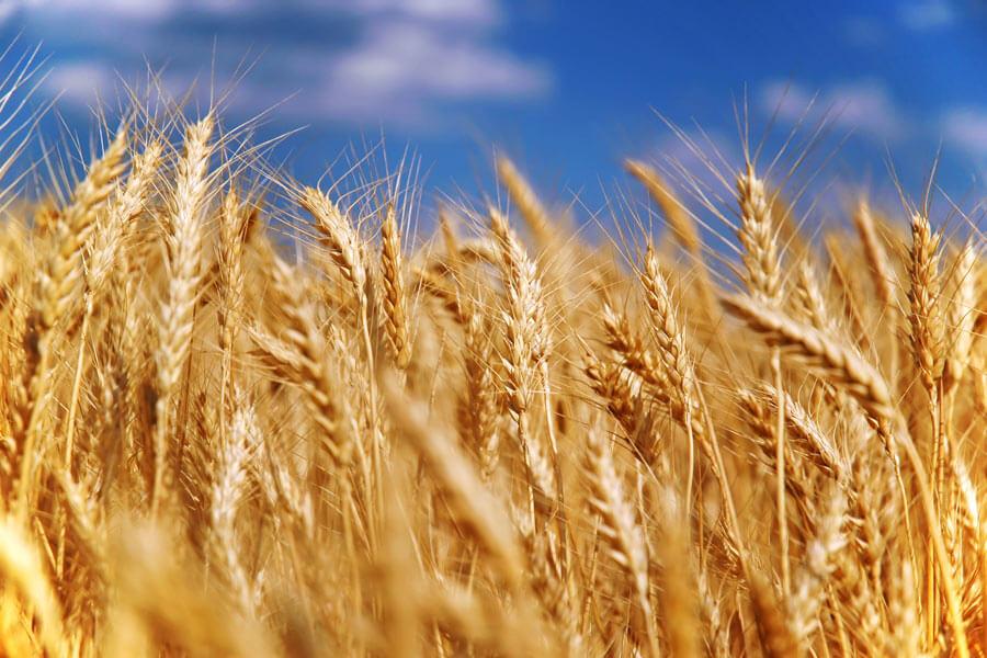 Украина почти исчерпала объем экспорта пшеницы указанный в меморандуме