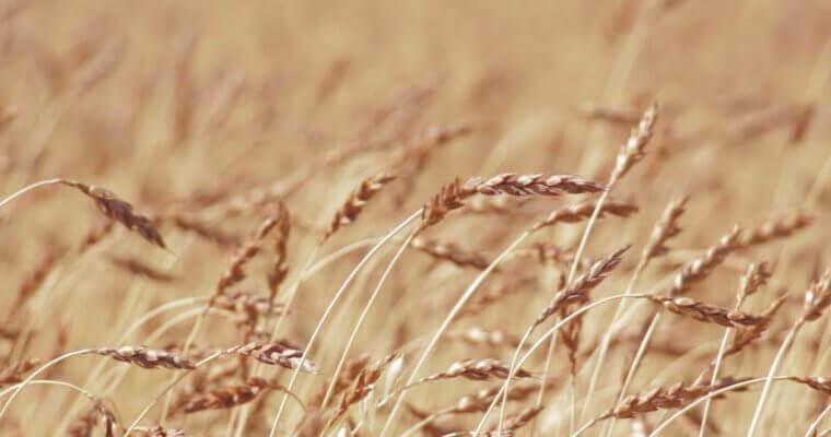 В Восточном Казахстане убрана половина площадей под зерно